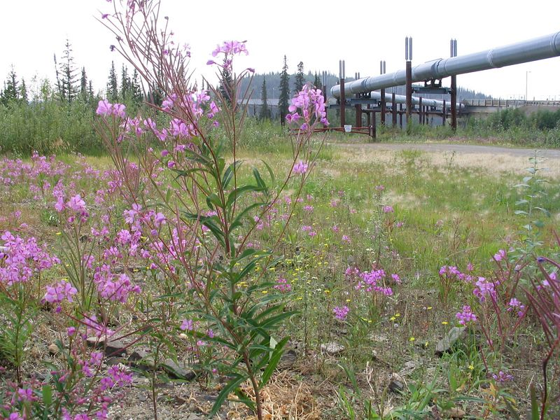 Yukon River crossing, fireweed
