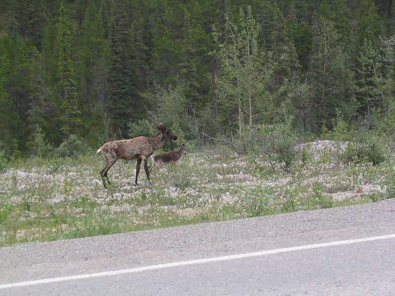 baby caribou near Summit Lake