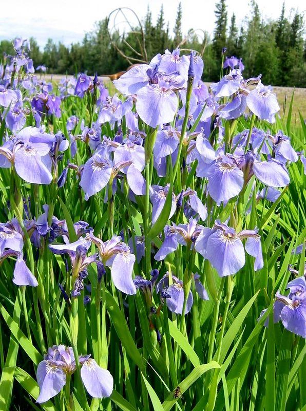 Alaskan Wild Iris at the Knotty Shop