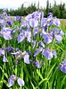 Alaskan Wild Iris at the Knotty Shop