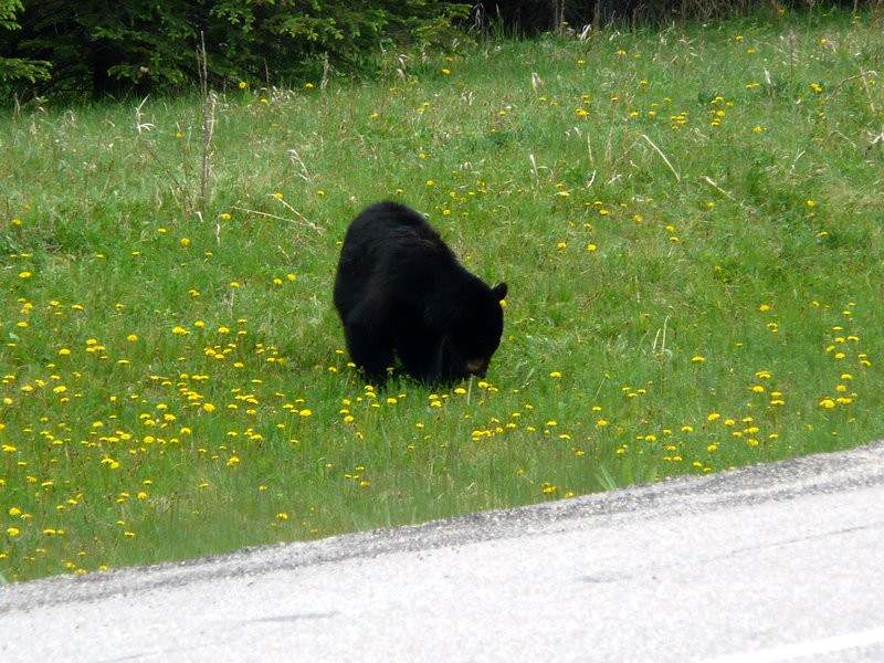 Kootenay National Park - showing off for the tourists - but pretending to ignore them.