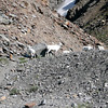 Dall sheep, Seen while climbing Atigun Pass