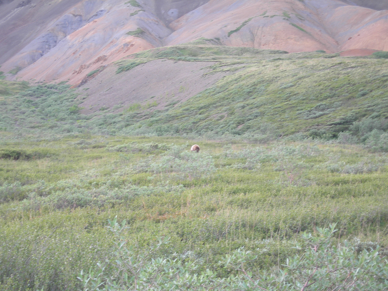 As well as these bears, we also saw many caribou, a few moose and a distant glimpse of Denali's only wolf pack, with cubs. We were very lucky.