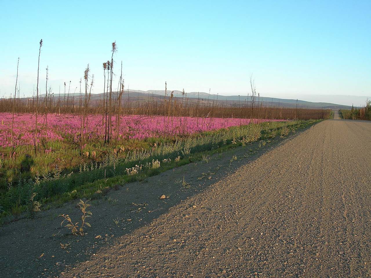 On the Dalton Highway, also called the Haul Road, as it was built for the trucks that haul supplies and equipment to the oilfields in Prudhoe Bay, my destination, and as far north as you can go, almost 500 miles north of here. The flower is called fireweed. The Alaskans say that once it finishes blooming, winter is 6 weeks away.