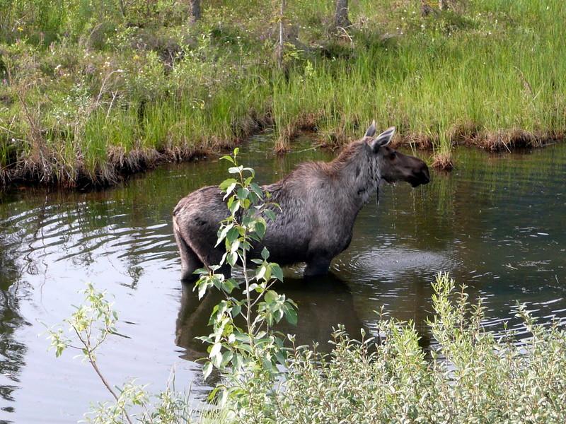 Moose, north of Arctic Circle