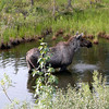 Moose, north of Arctic Circle