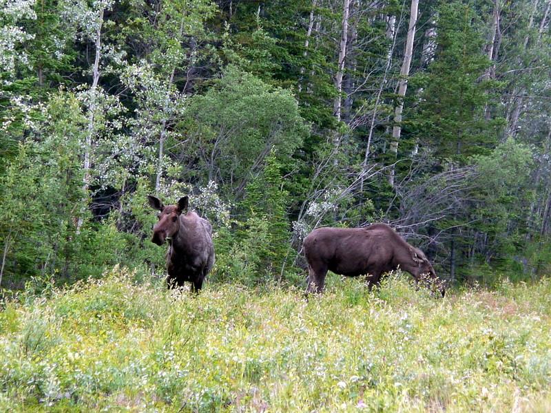 Grazing moose, along the Tok Bypass
