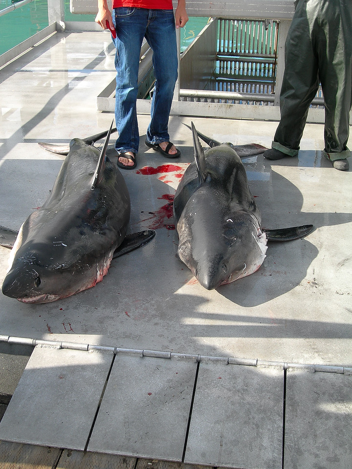 The day's catch. Apparently they were salmon sharks, though the old boy who told me said they were horrible to eat.