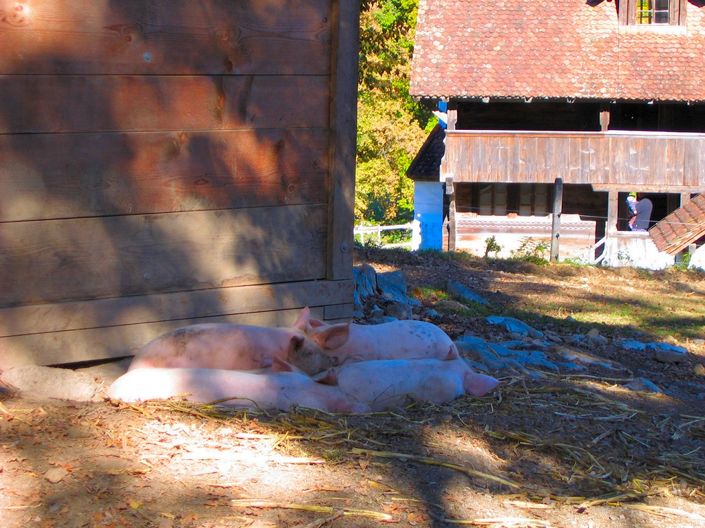 "Leave it to Swiss to display a real ""pig pile"" - Ballenberg Switzerland"