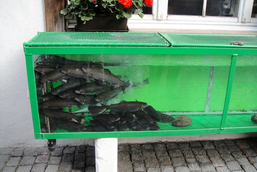 One of these babies could be your meal tonight - fish tank at our hotel in Andermatt Switzerland