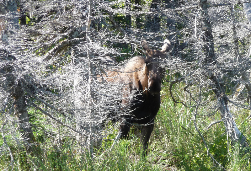 A shy moose...I just happened to see this dark shadow in the woods and slammed on the brakes to get a shot.
