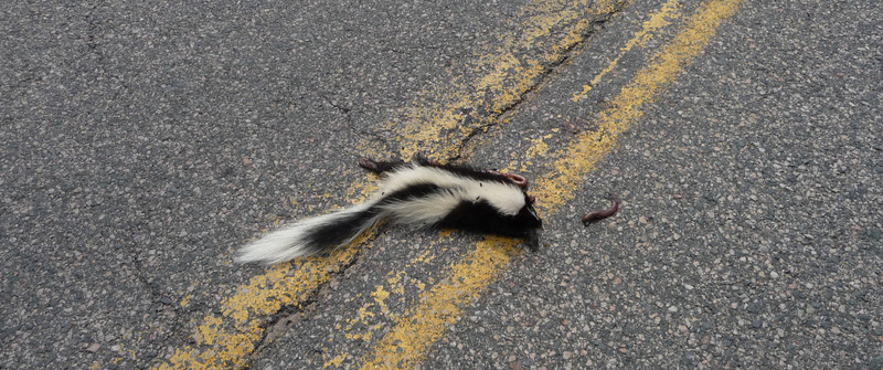 Dead Skunk in the middle of the road...obviously...and stinking to high heaven...I couldn't pass it up!  Actually saw several others...all in the middle of the road!