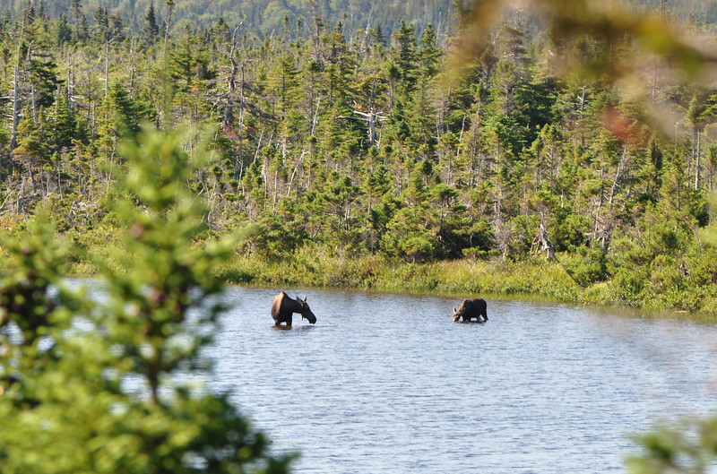 Crossing over from the North Coast (Gulf of St. Lawrence) to the Atlantic Coast you go through a high alpine area with lots of ponds and evergreens...and lots of moose.  Ran across this mother and her calf enjoying breakfast.