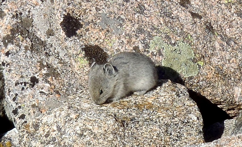 This unreasonably cute mammal is a pika. I saw dozens in Rocky Mountain Nat'l Park, northern Colorado. (Not my picture.) They're fairly well rock-colored, so at first you don't see them in the stony alpine fields, but then you realize they're moving everywhere. And they have an exceedingly cute call, too.