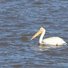 An odd bird, the Pelican.  His beak holds more than his belly can.