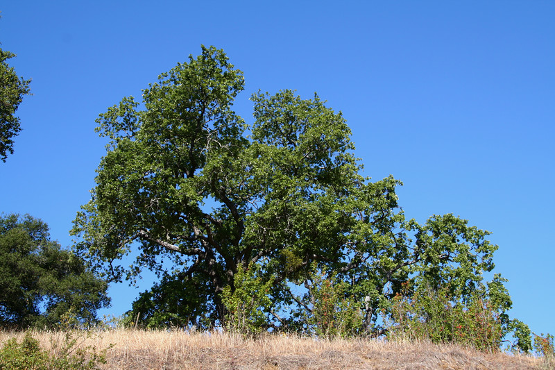 One of many mighty Oaks on Tepesquet Canyon Road.