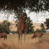 The Waitsburg camel