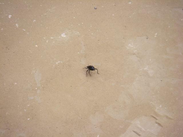 Big old Dung beetle I think.