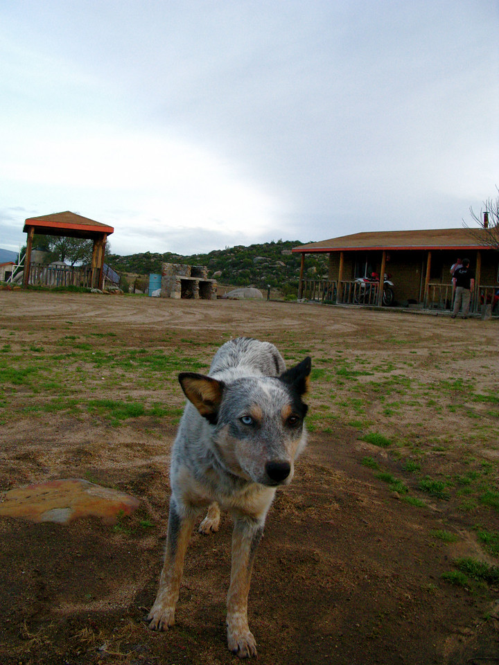 Mexican dog at Meling ranch in Baja,  he was sweet,  but looked like he ate Chihuahua's for snacks