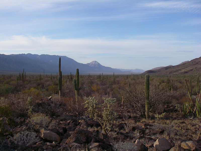 Looking towards Bahia de Los Angeles across the forest of cacti.