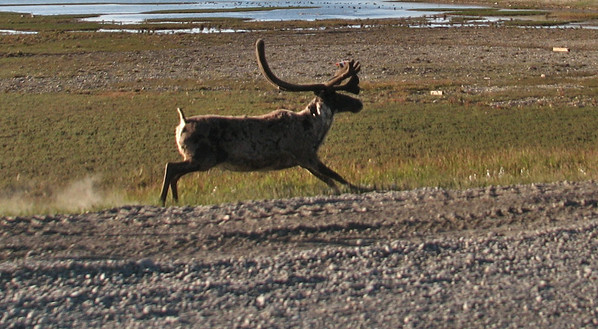 Caribou running along side of me in the oil fields of Prudhoe Bay.