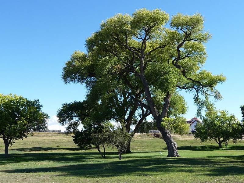 old Cottonwood on the Ft. Davis Historical grounds.