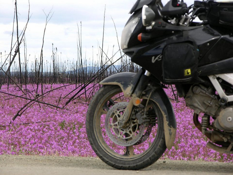 My muddy Wee Strom and the fireweed along the Dalton.