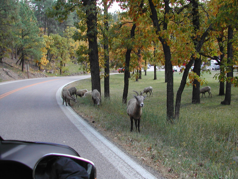 and more locals at Custer State park,,,<br /> the Buffalo had mostly been rounded up this time of the year...