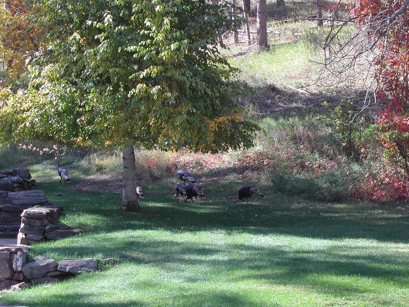 there were wild turkeys all around the Black Hills