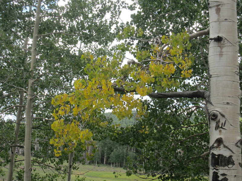 Just a hint of Fall color changes in select aspen leaves at 10k feet elevation.  We also noticed aspen leaves collecting on the trails.
