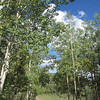 A wide shot of the aspen trees showing small patches of early Fall.