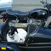 once on the east side of the cascade mountains, domino can get out of the VW and into the sidecar (the reason we bought this rig!)