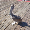 One of the Avila beach locals
