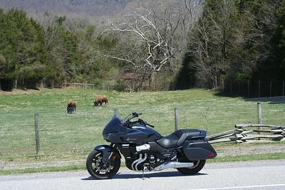 Buffalo in Virginia