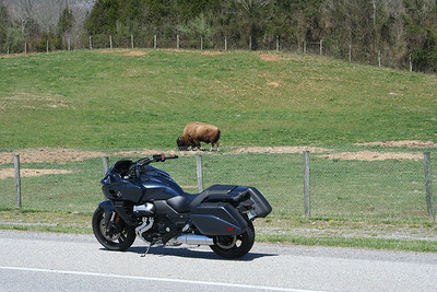 This critter must have been nine feet tall. Buffalo in Virginia