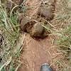 Elephant dung...