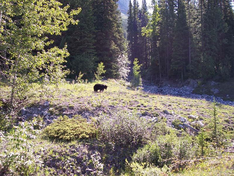 A small black bear enjoying a meal.