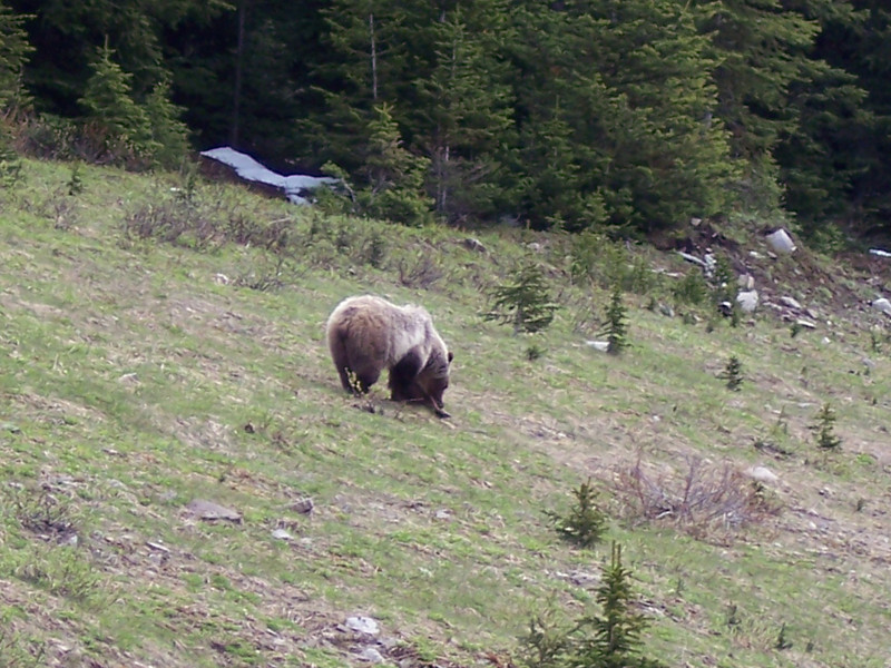 Grizzly bear foraging.
