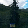 Farthest North Spruce tree