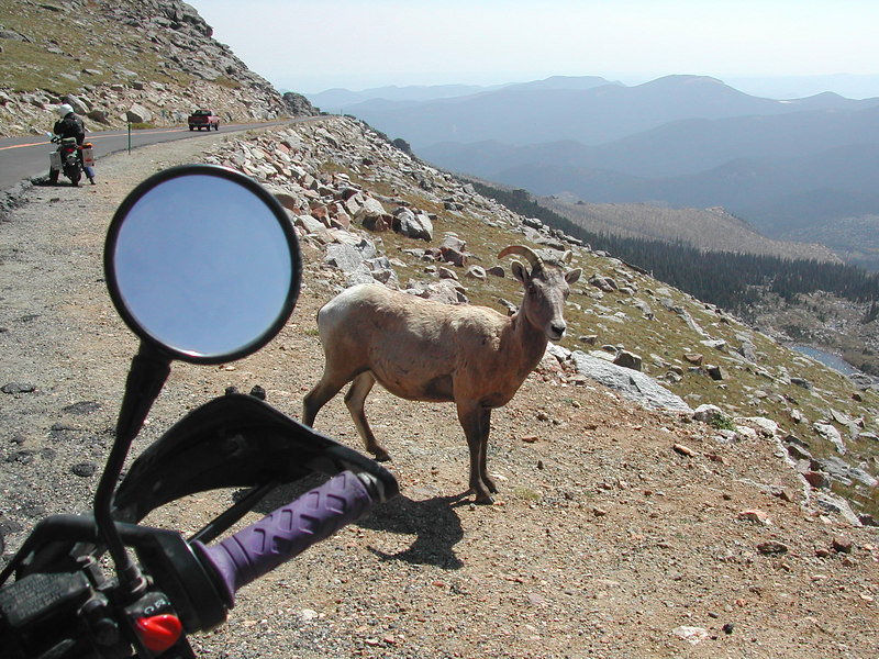 A friendly Mountain Sheep along the road up to Mt Evans at 12,000 ft, probably looking for a snack from a passing motorist...