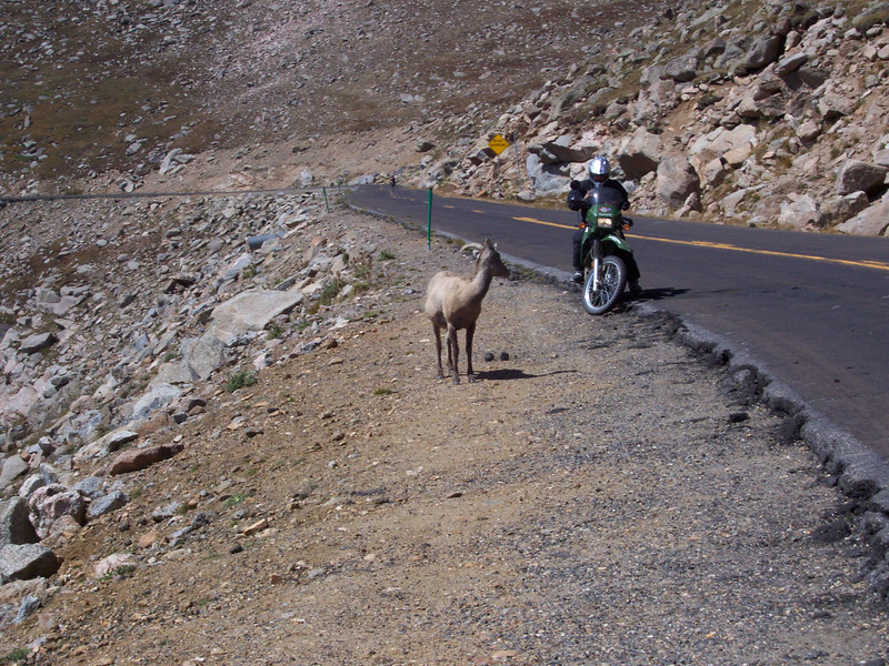 is the Mountain Sheep admiring the KLR?