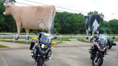 First stop is the Giant Cows in Sulphur Springs