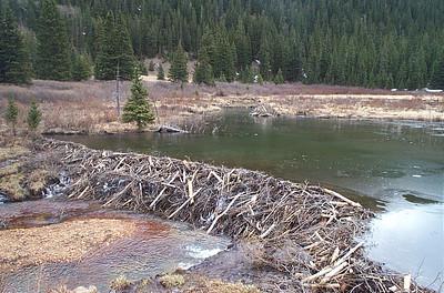 Huge beaver dam