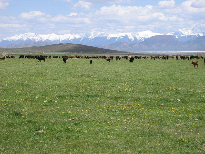 The Smith Ranch cows and their calves.