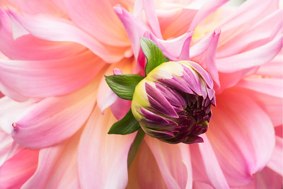 Dahlias are blooming.