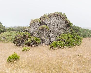 A wind swept pine.