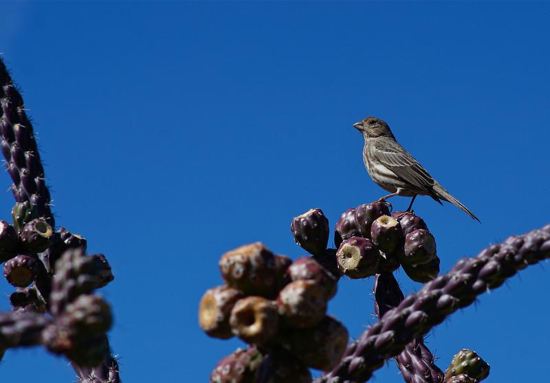Female Housefinch