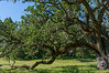 Strong Oak