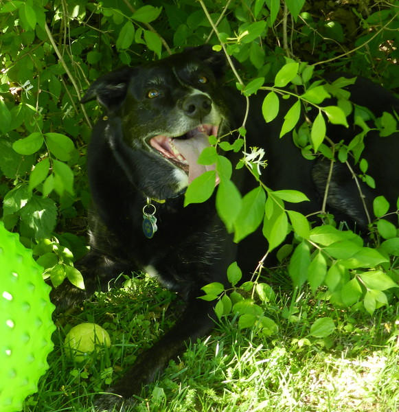 Dessert stop at the Diaz's home.  Maxine takes a rest in the bushes from ball playing.