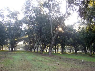 Pecan tree grove